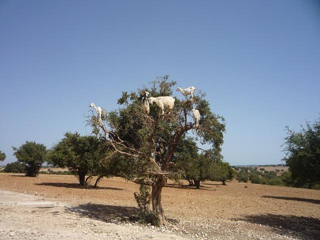 Argan, aurul deșertului