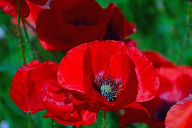 Această imagine are atributul alt gol; numele fișierului este poppy-3420809_640.jpg